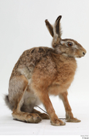 Hare  1 whole body 0002.jpg