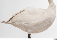 Mute swan whole body wing 0001.jpg