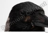 Carrion crow bird eye head 0001.jpg