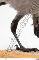 Carrion crow bird leg 0002.jpg