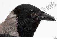 Carrion crow bird head 0002.jpg