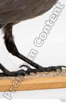 Carrion crow bird leg 0007.jpg
