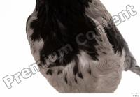 Carrion crow bird chest 0002.jpg