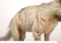 Striped Hyena Hyaena hyaena back chest 0001.jpg