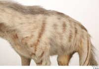 Striped Hyena Hyaena hyaena back chest 0002.jpg