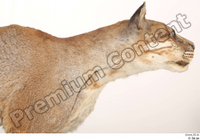 Asian golden cat Catopuma Temminckii head neck 0001.jpg