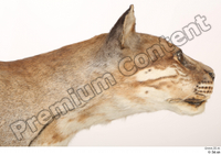 Asian golden cat Catopuma Temminckii head neck 0002.jpg