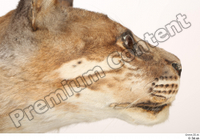 Asian golden cat Catopuma Temminckii cheek eye head mouth 0002.jpg