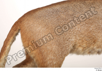 Asian golden cat Catopuma Temminckii back body fur 0002.jpg