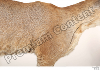 Asian golden cat Catopuma Temminckii body chest fur 0001.jpg