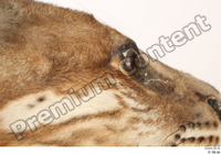 Asian golden cat Catopuma Temminckii eye 0001.jpg