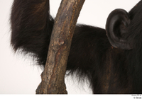Chimpanzee Bonobo arm shoulder 0002.jpg