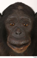 Chimpanzee Bonobo face head 0001.jpg