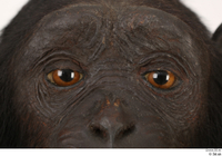Chimpanzee Bonobo eye 0001.jpg