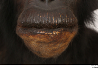 Chimpanzee Bonobo mouth 0001.jpg
