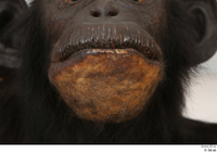 Chimpanzee Bonobo mouth 0002.jpg