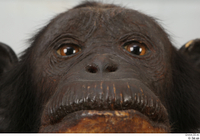 Chimpanzee Bonobo eye mouth nose 0001.jpg