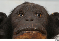 Chimpanzee Bonobo eye face mouth nose 0001.jpg