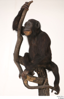 Chimpanzee Bonobo whole body 0002.jpg
