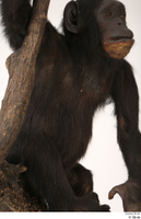 Chimpanzee Bonobo belly chest trunk 0002.jpg