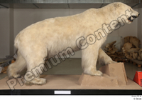 Polar bear whole body 0001.jpg