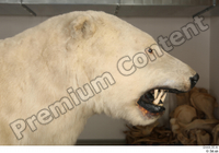 Polar bear head 0001.jpg