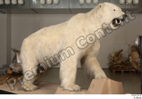 Polar bear whole body 0002.jpg