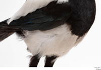 Common magpie Pica pica chest wing 0001.jpg