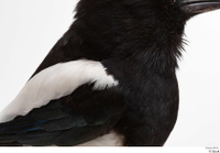 Common magpie Pica pica back chest wing 0001.jpg
