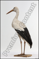 Black stork (Ciconia negra)