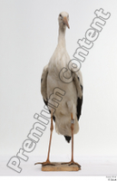 Black stork whole body 0001.jpg