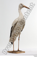 Black stork whole body 0002.jpg