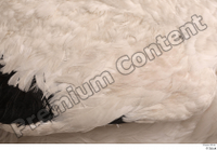 Black stork back feathers wing 0001.jpg
