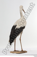 Black stork whole body 0005.jpg