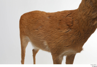 European roe deer back body chest 0001.jpg