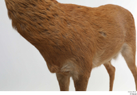 European roe deer body chest 0001.jpg