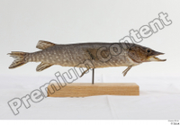 Northern pike whole body 0001.jpg