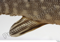 Northern pike belly fin 0001.jpg