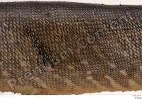 Northern pike back belly body scales 0002.jpg