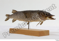 Northern pike whole body 0002.jpg