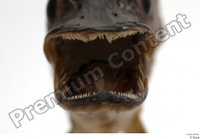 Northern pike mouth teeth 0005.jpg