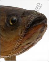 Common chub Squalius cephalus
