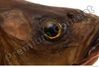 Common chub Squalius cephalus eye 0001.jpg