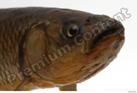 Common chub Squalius cephalus head 0002.jpg