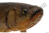Common chub Squalius cephalus head 0003.jpg