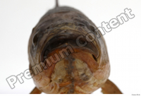 Common chub Squalius cephalus mouth 0004.jpg