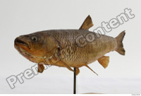 Common chub Squalius cephalus whole body 0003.jpg
