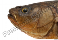 Common chub Squalius cephalus head 0006.jpg