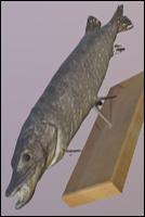 Northern Pike (Esox Lucius) Animal 3D Scan