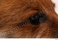 Red fox eye 0001.jpg